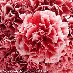 """Cherrio"" hot pink bi-color carnation"