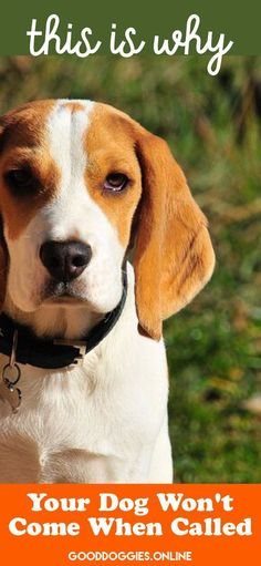 Recall with your dog can be tricky. Check out these tips on getting your dog to come when called.