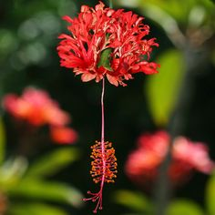View photographs and a description of the plant Hibiscus schizopetalus, commonly known as Coral Hibiscus, Fringed Rosemallow, Japanese Lantern, Chinese. Hawaiian Plants, Hawaiian Flowers, Hibiscus Flowers, Exotic Flowers, Beautiful Flowers, Magenta Flowers, Botanical Flowers, Tropical Garden, Tropical Plants