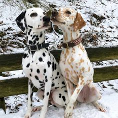 "6,553 Likes, 108 Comments - Dalmatian Lovers (@dalmatianlovers) on Instagram: ""Posted by @khaleesi.django.dalmatian #dalmatian #dalmata #dalmation #dalmatians…"""