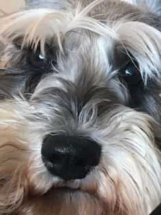 This angel named Briscuit is surely moody. I love him so much! Miniature Schnauzer, Schnauzers, Teacup, Dog Pictures, I Love Him, Pepper, Angel, Pets, Heart
