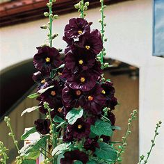 Marvelous heirloom with inch deep maroon flowers and decorative leaves is a stunner in every growing site. Blooms from mid to late summer. 5 to 8 feet tall. Summer Bulbs, Spring Bulbs, Spring Blooms, Deer Resistant Perennials, Sun Perennials, Beautiful Roses Bouquet, Hollyhocks Flowers, Perennial Bulbs, Sea Holly