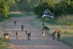 A pack of wild dogs spotted on a game drive in the South Luangwa National Park.