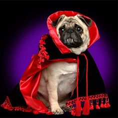 Well. It's a pug dressed as a vampire. What more do you want?
