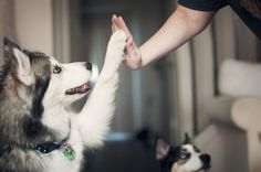 Husky dog high fives! Trying to get my husky to do this. I Love Dogs, Puppy Love, Cute Dogs, High Five, Amor Animal, My Husky, Mans Best Friend, Beautiful Creatures, Dogs And Puppies