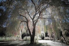 I love weeping willows, I always wanted one in my front yard that I could cozy up under with a good book....