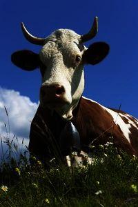 ...il faut du lait de vaches Montbéliarde ou Simmental française