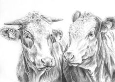 Pencil drawing Cow portrait.