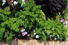 Use parsley to edge beds in your garden and landscape. #gardeningandlandscape