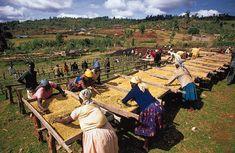 cooperative workers drying coffee in Nyery, Kenya