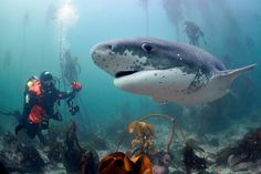 Book your PADI open water course today with Pisces Divers in Cape Town, South Africa - Dirty Boots Great White Shark Diving, Diving Lessons, Scuba Diving Courses, Jewel Of The Seas, Apex Predator, Open Water, Underwater World, Cape Town, Adventure