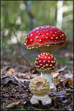 Fly Agaric (Amanita muscaria), woods outside of Burgh-Haamstede, Zeeland, The Netherlands