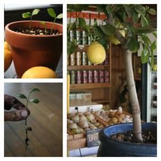 Vegetables Buy Once And Regrow Forever-lemon