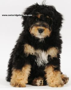 Pin by Rocky Mt Bernedoodles on Bernedoodle puppies