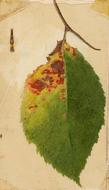 Crumpled and Withered Leaf Edge Mimicking Caterpillar, study for book Concealing Coloration in the Animal Kingdom, Emma Beach Thayer, Gerald H. Thayer, watercolor, Smithsonian American Art Museum, Gift of the heirs of Abbott Handerson Thayer, 1950.2.25A