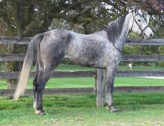 Molly by Jet Lag. This is my horses half sister. My horse, Hugo By Jet is a grey standardbred like this one by Jet Laag.