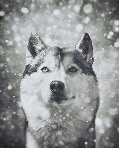 Portrait of a Siberian Husky in the snow.