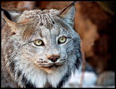 Canadian Lynx | Flickr - Photo Sharing!