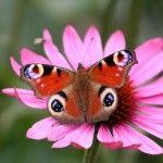 YouWall Butterfly on Flower Wallpaper wallpaperwallpapers Butterfly On Flower, Peacock Butterfly, Butterfly Pictures, Butterfly Kisses, Flower Images, Flower Pictures, Peacock Pictures, Types Of Butterflies, Flying Flowers