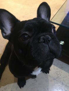 This is me — Buddy, a happy, playful and funny French bulldog. 5 Month Olds, Best Youtubers, Bulldog Puppies, French Bulldog, Cats, Funny, Animals, Animales, Gatos
