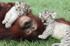 This orangutan and these lion cubs.   The 40 Best Animal Cuddlers Of All Time