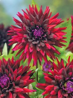Black Wizard Dahlia