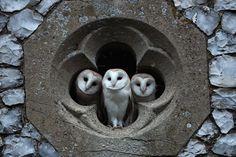Ecclesiastical Barn Owls
