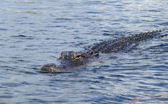 Alligatoren sind keine Seltenheit in den Sümpfen der Everglades © Viktoria Urbanek