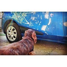私の愛車に乗りたいうちのわんこ……。 わんちゃん乗せる用のグッズがまだ揃ってないんだ😢  #ダックスフンド  #犬  #ミニチュアダックス  #愛車  #もう少ししたらドライブ一緒に行こうね  #愛犬