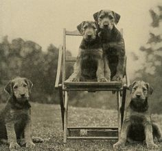 A Typical Litter of Airedale Puppies, c.1913  #BiblioBoard