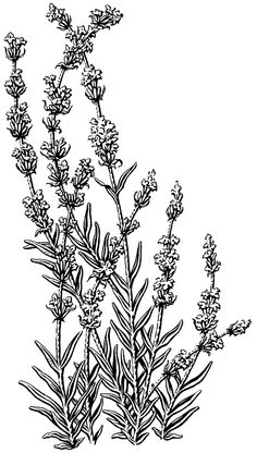 Scratchboard illustration of Lavender by Michael Halbert. Plant Illustration, Botanical Illustration, Flower Drawing Tutorials, White Ornaments, Scratchboard, Vintage Drawing, Pen Art, Coloring Book Pages, Botanical Art