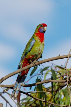 Crimson Rosella (Platycercus elegans) is a parrot native to eastern and southeastern Australia. Juvenile bird pictured.