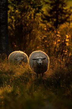 Light of the Lambs by Claes Karlsson
