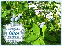 this is the first summer we've had blueberry bushes my husband planted two of them last fall and now we have a small harvest :) . Growing Blueberries, Blueberry Bushes, Homestead Farm, Garden Inspiration, Garden Ideas, My Secret Garden, Raised Garden Beds, Yard Art, Farm Life