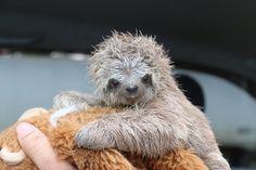 Baby sloth http://ift.tt/2zOt0lI