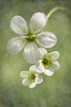 Saxifrage | Flickr - Photo Sharing!