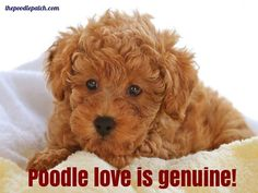 POODLE LOVE IS GENUINE!!!