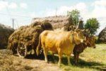 MARINHOA es una raza originaria de Portugal.  El color característico es el amarillo. Son utilizadas para tracción animal y para obtención de carne.