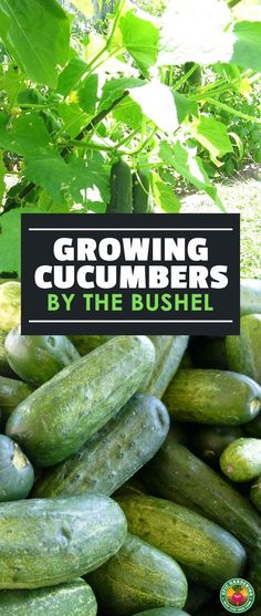 Do you love cucumbers? Growing cucumbers at home is surprisingly easy. Check out our complete growing guide for everything you need to know. You'll grow so many you'll be giving away the extras! #veggies #cucumbers #veggiegardening #vegetables #gardening #growvegetables
