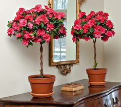 Pink Topiary Azalea   these look great. I think they would look great in so many places in my house..