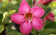 Rosa do Deserto - Desert Rose: Adenium obesum [Family: Apocyanaceae]