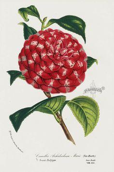 Camellia Archiduchesse Marie 1845 Charles Lemaire Flore des Serres et des Jardin Camellia Prints