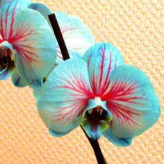 Meine blaue Orchidee Phalaenopsis