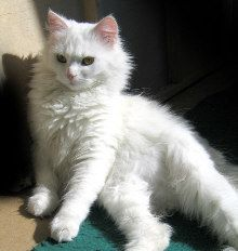 141 Best Turkish Cat Breeds Images Fluffy Animals Pretty Cats