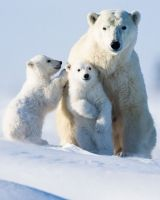 Polar Bear and her cubs. Polar bears usually give birth to twins. Bear Photos, Bear Pictures, Animal Pictures, Amor Animal, Mundo Animal, Cute Baby Animals, Animals And Pets, Baby Polar Bears, Love Bear