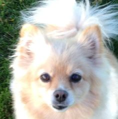 Meet MITZI, an adoptable Pomeranian looking for a forever home. If you're looking for a new pet to adopt or want information on how to get involved with adoptable pets, Petfinder.com is a great resource.
