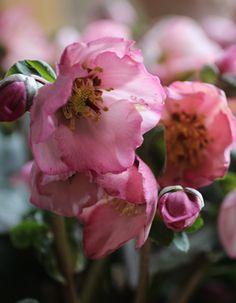 Christmas Rose 'Winter Venus' いよいよ「春コレ」が始まります!
