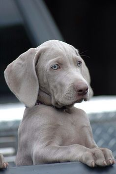 Looking for trouble... #weimaraner