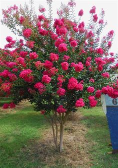 Crape Myrtle Tonto, for the top of the street. It is deciduous. Colorful Trees, Small Trees, Colorful Flowers, Small Ornamental Trees, Trees With Flowers, Small Garden Trees, Small Landscape Trees, Small Shrubs, Landscape Pictures