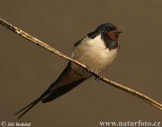 Vlaštovka obecná Bird, Animals, Barn Swallow, Animales, Animaux, Birds, Animal, Animais